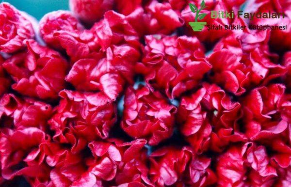 hibiskus bitkisi